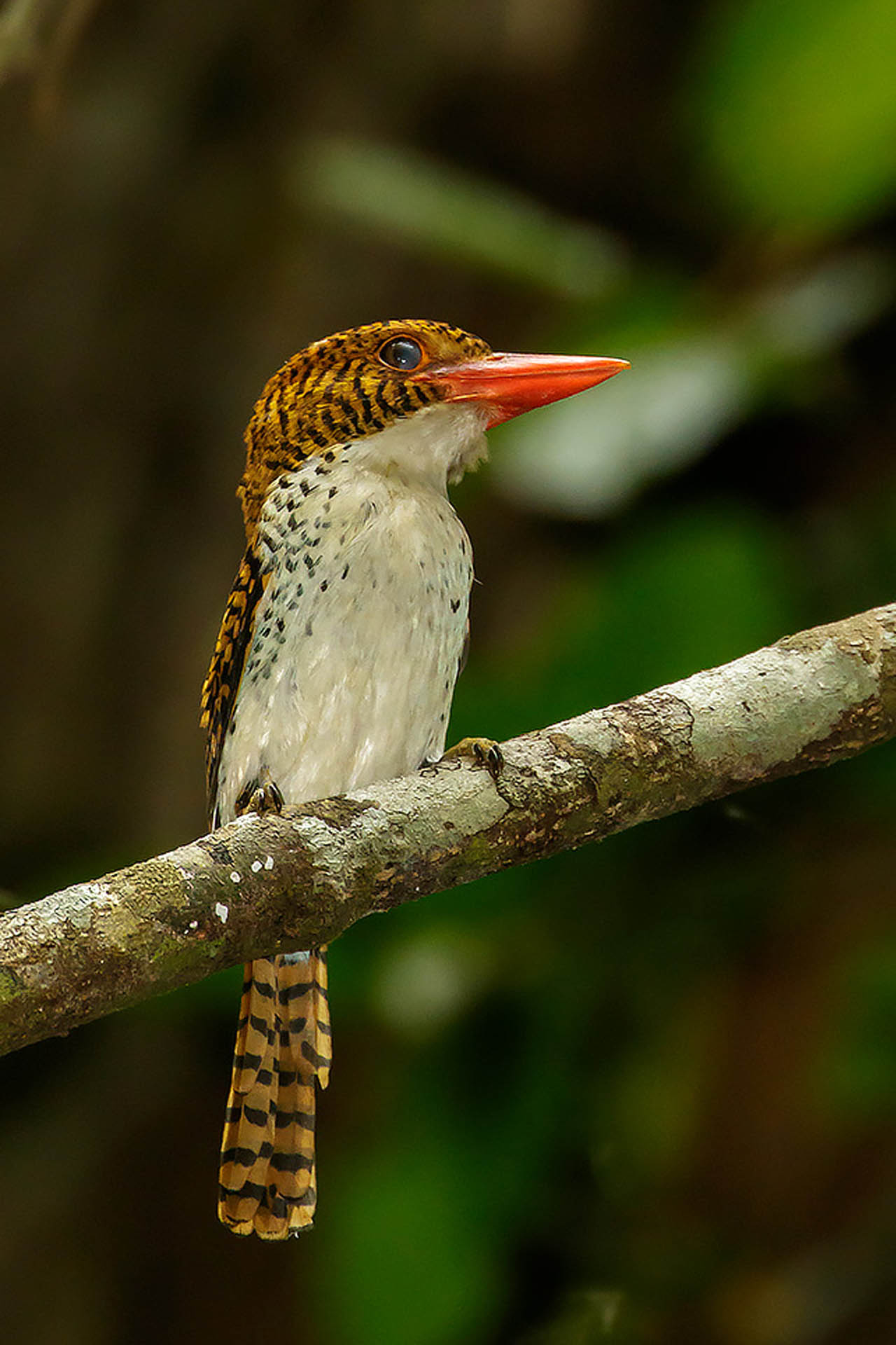 Banded Kingfisher by Bob Steele
