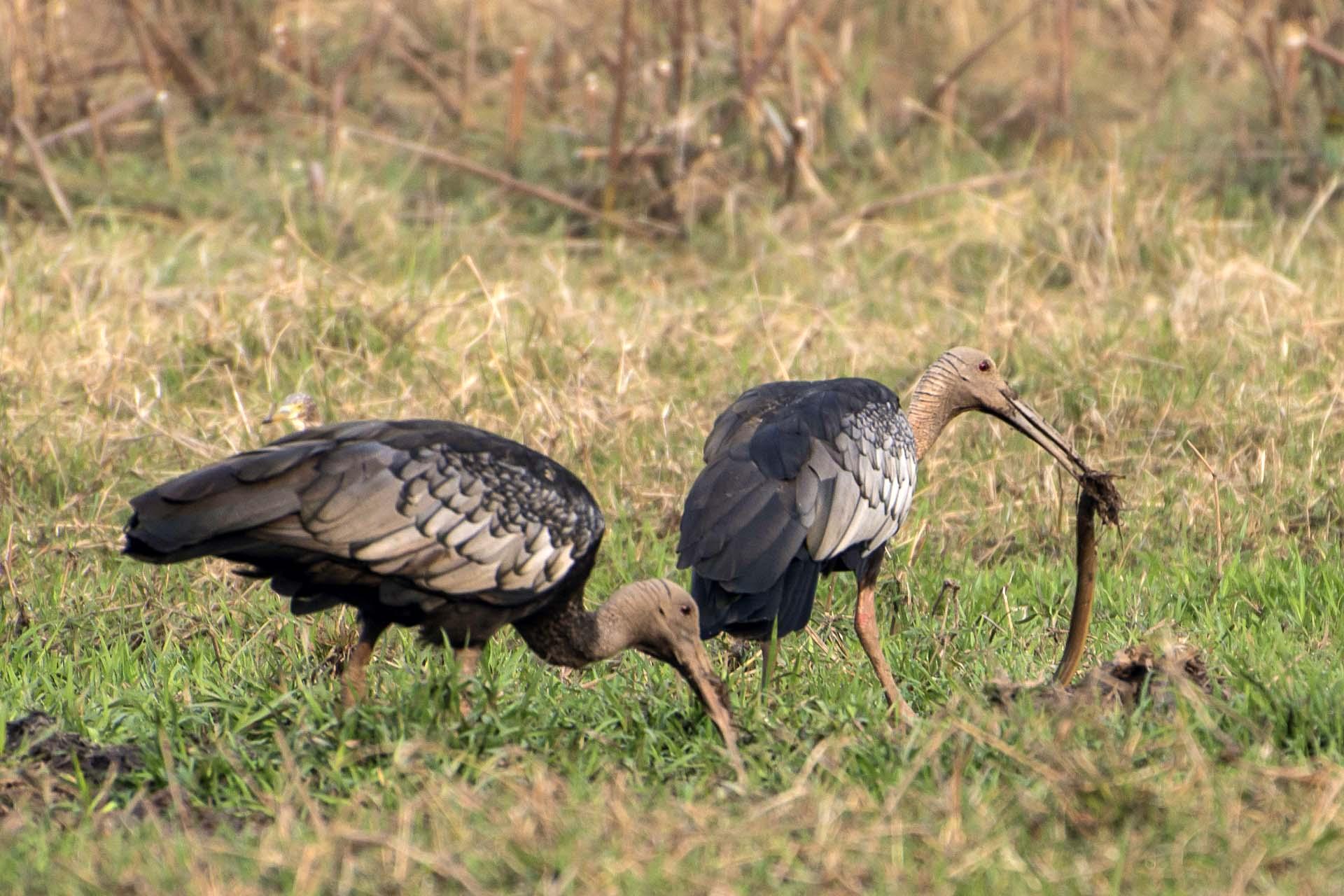 Giant Ibis at Tmatboey