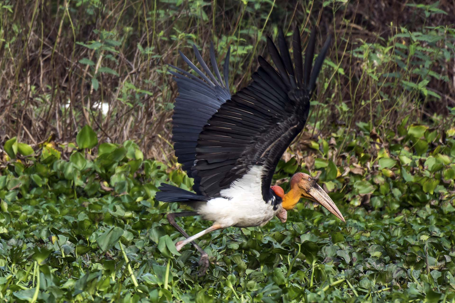 Greater Adjutant - ready to fly