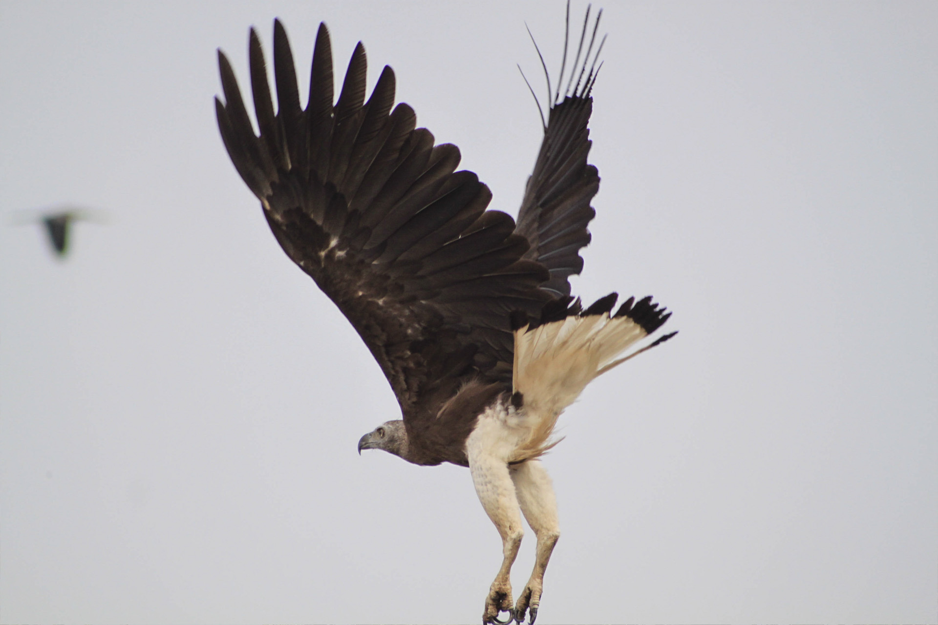 Grey-headed Fish-eagle