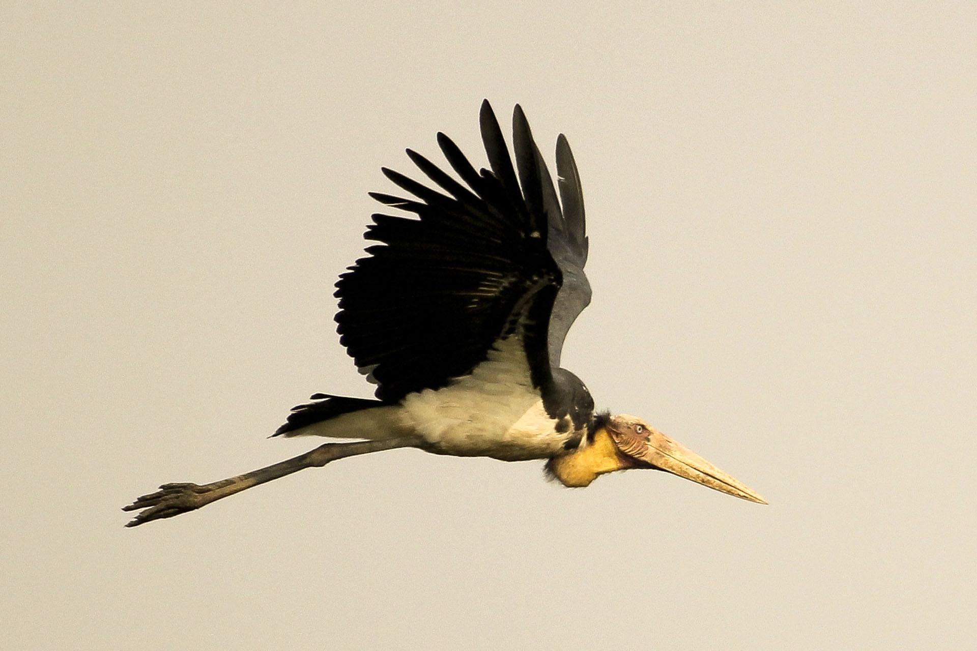Lesser Adjutant flying