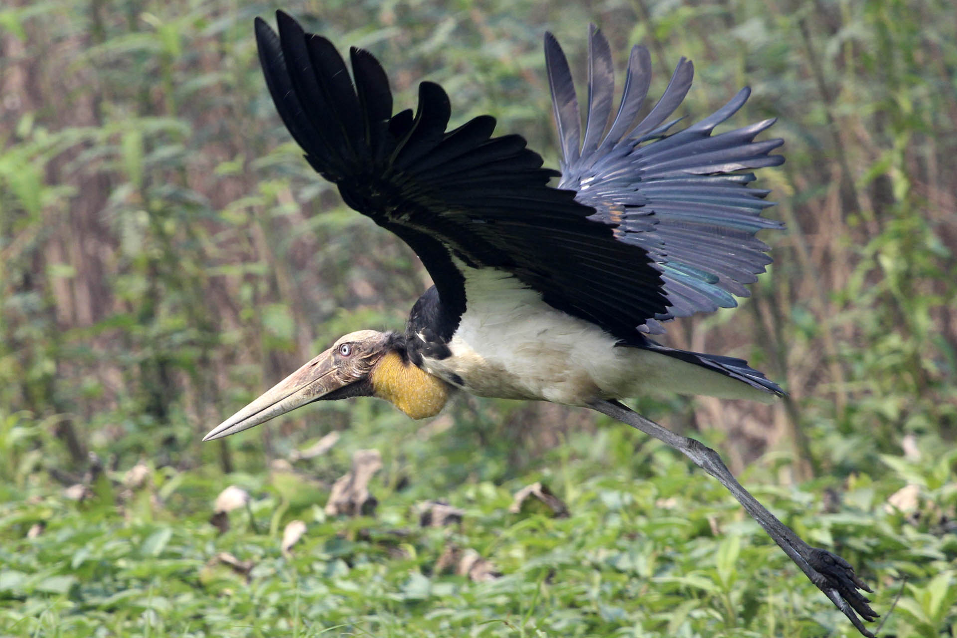 Lesser Adjutant - ready to fly by Luis Mario Arce