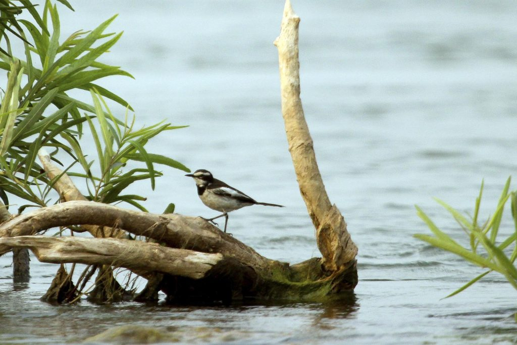 Mekong Wagtail at Kratie