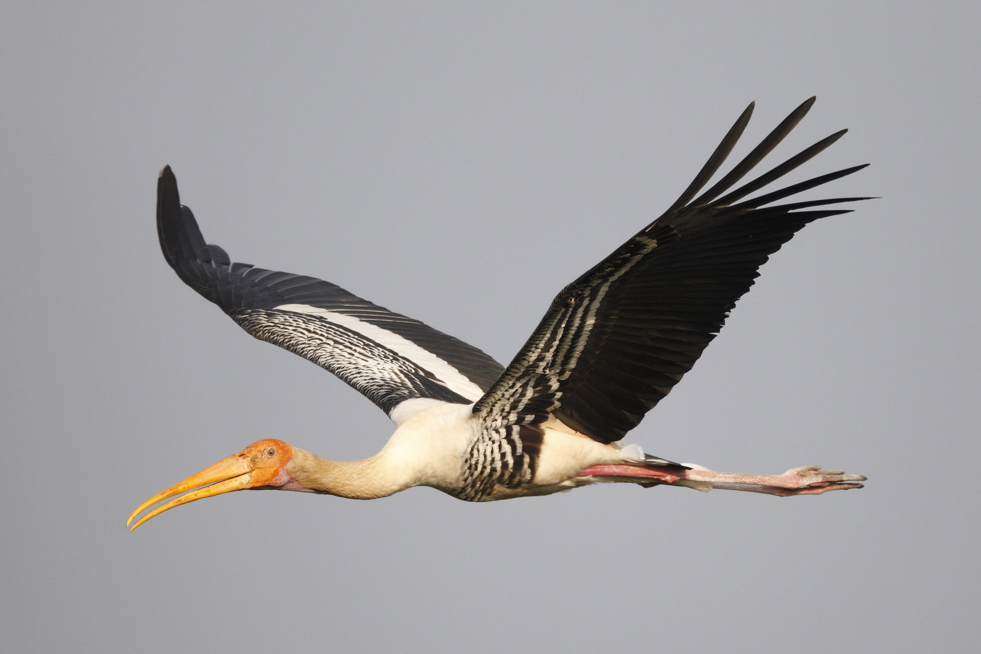 Painted Stork by Martin Hale