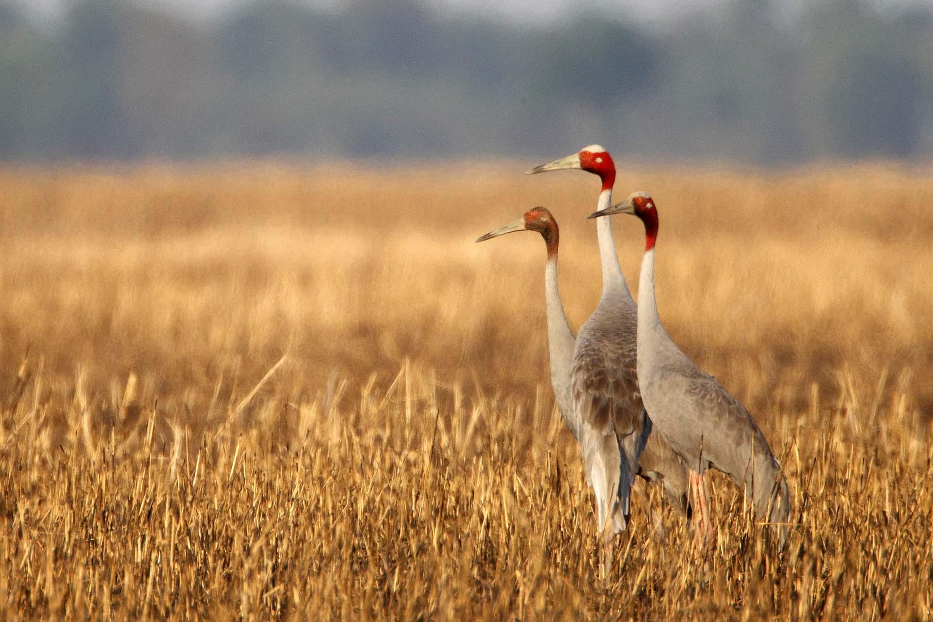birding for Sarus Crane at Ang Trapeang Thmor