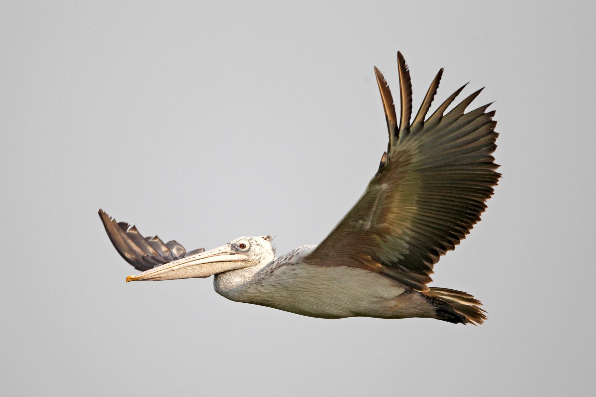 Spot-billed Pelican - in flight