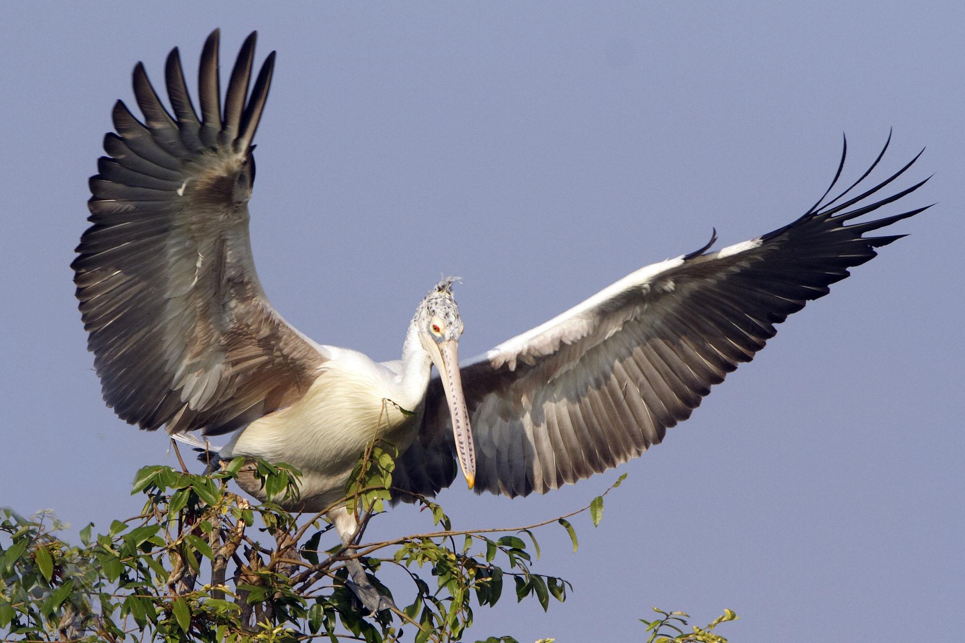 Spot-billed Pelican - wing span