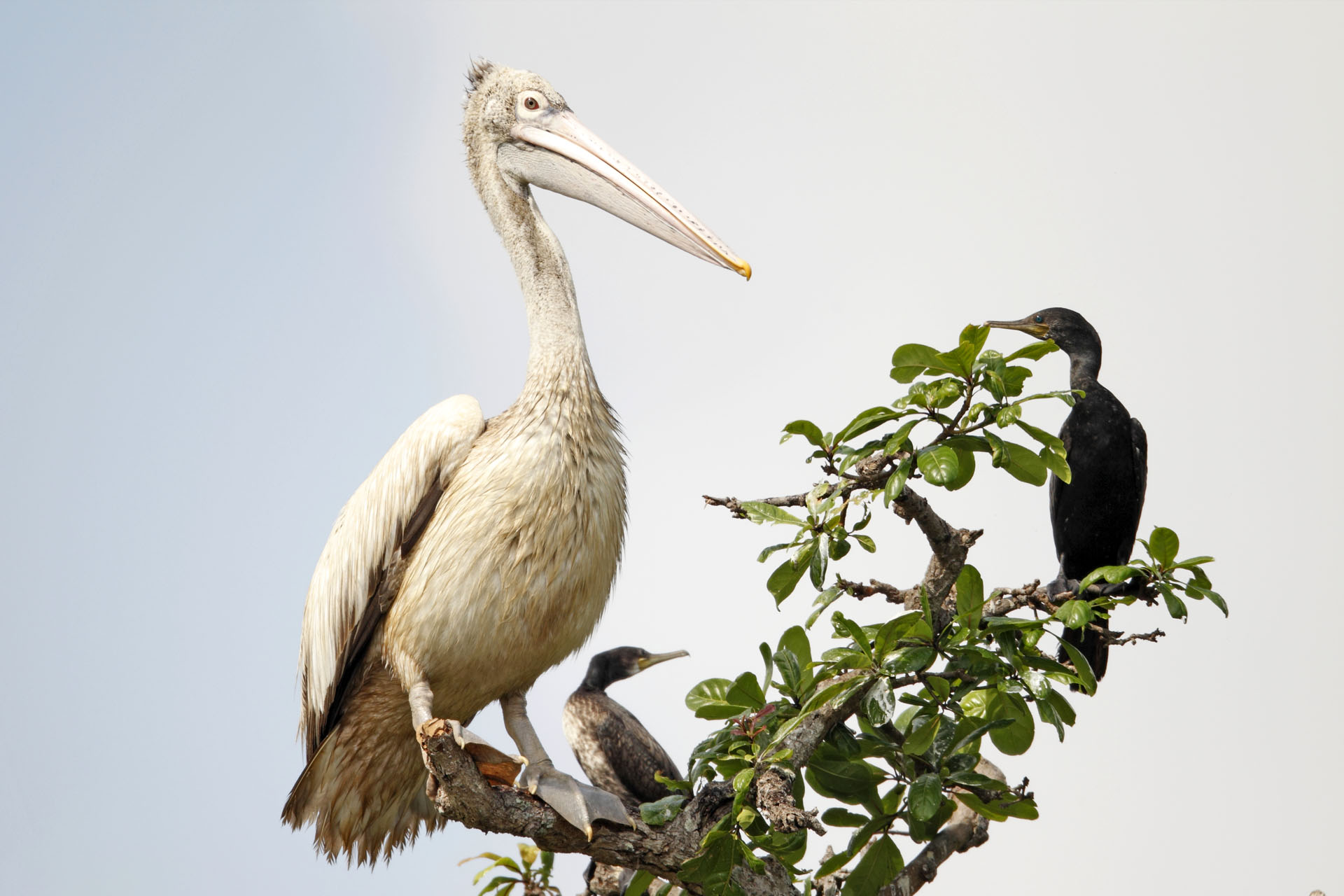 Spot-billed Pelican with Cormorant at Prek Toal