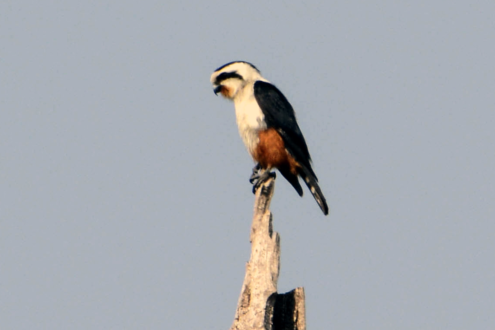 birding in Cambodia, Collared Falconet