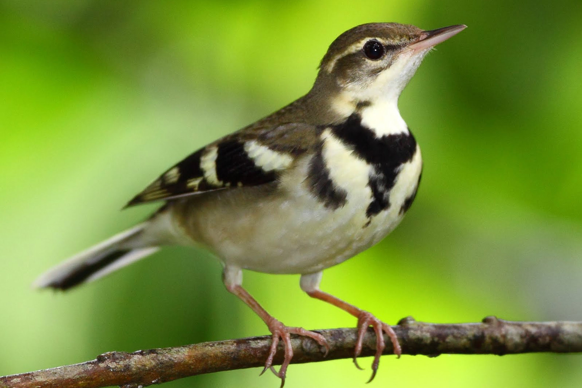 Forest Wagtail at Angkor site