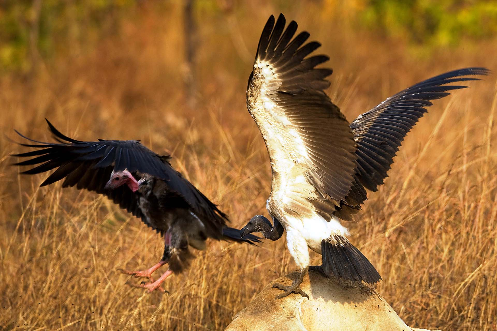 Red-headed and Slender-billed Vultures