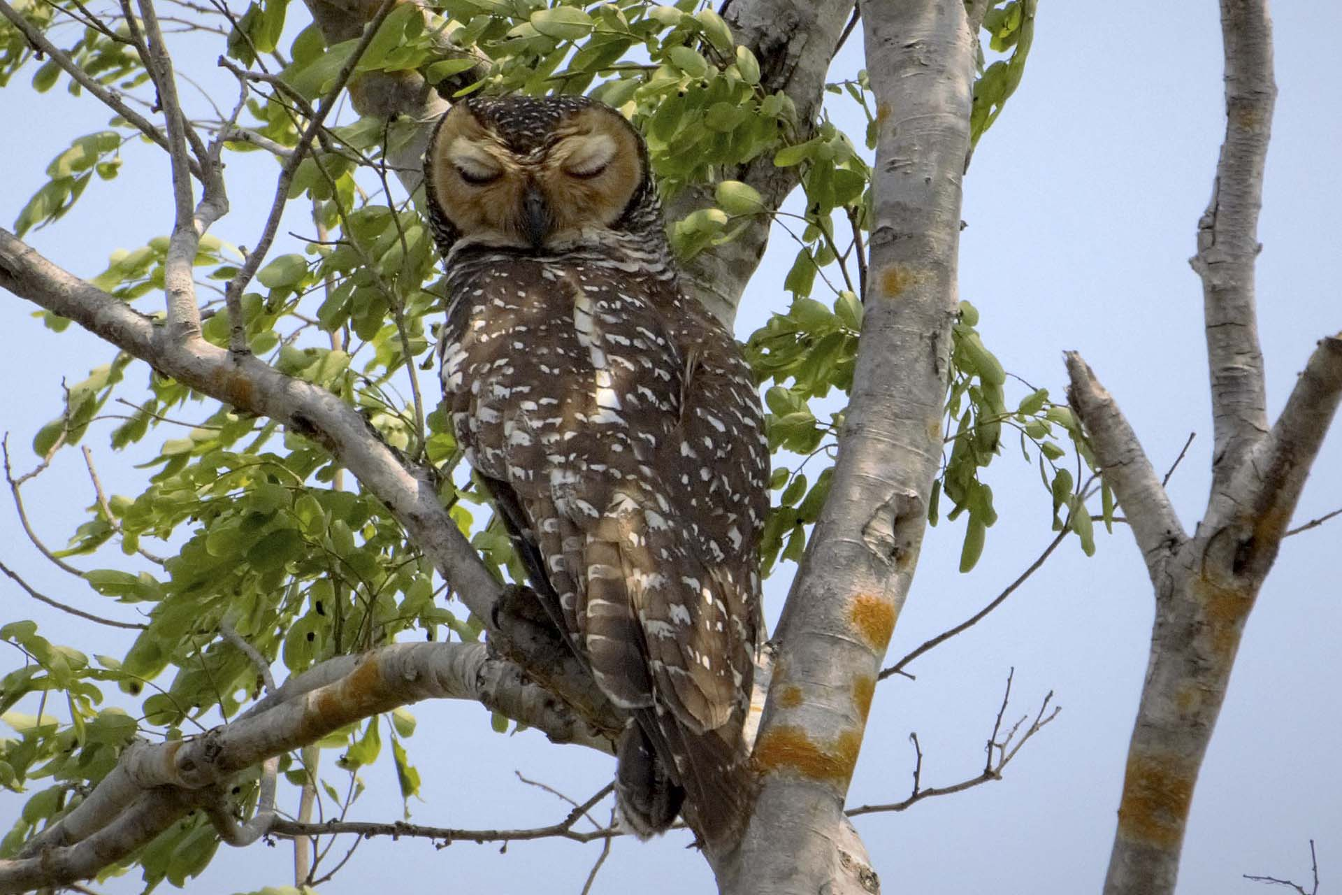 Spotted Wood Owl