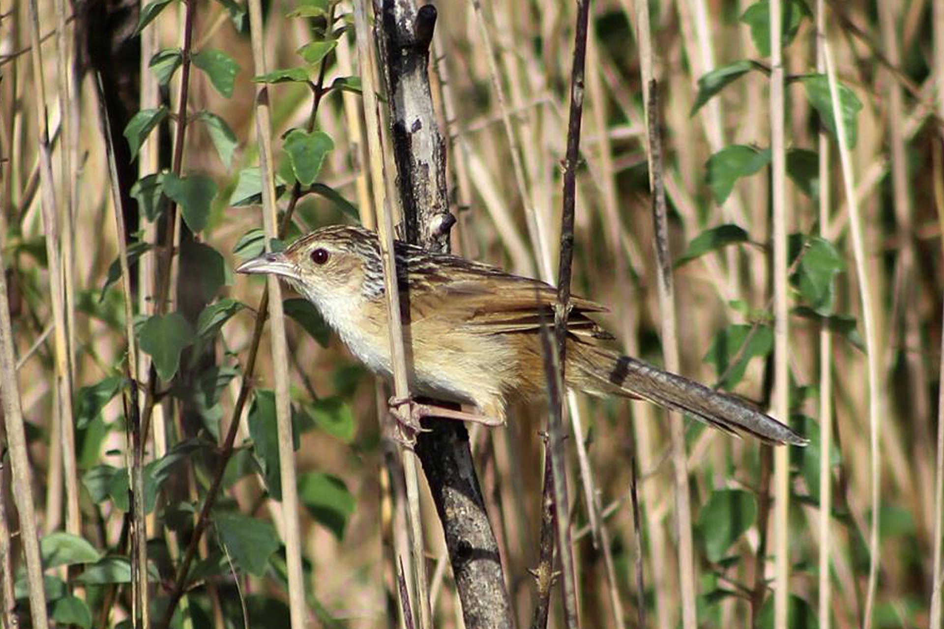 Chinese Grassbird in pursat