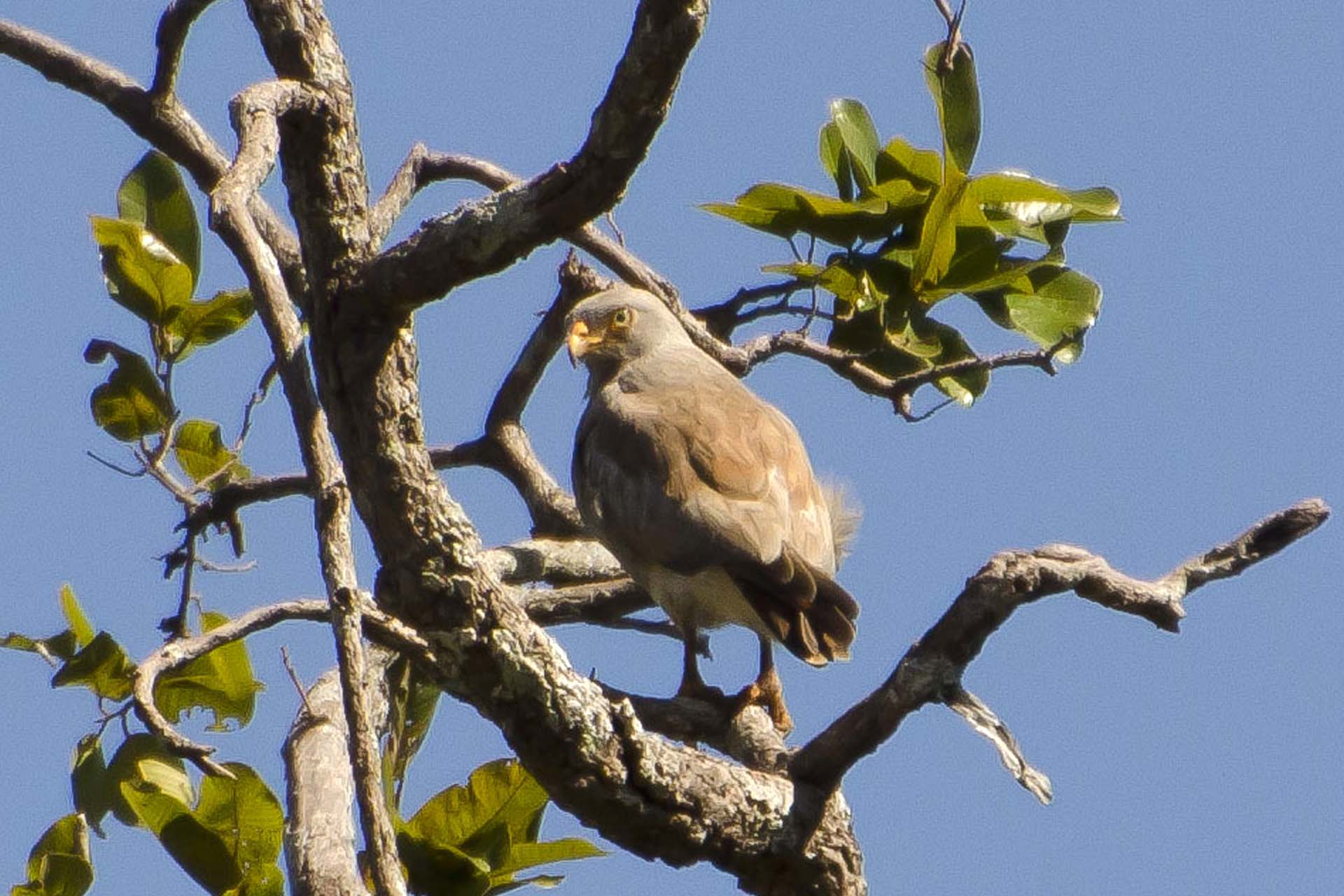 Rufous-winged Buzzard, birding in cambodia