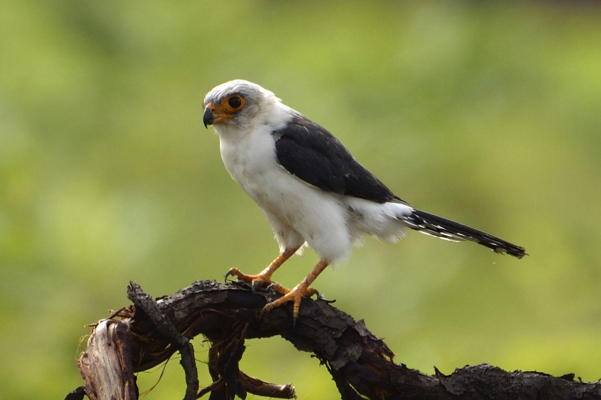 white rumped Falcon credit to johnny