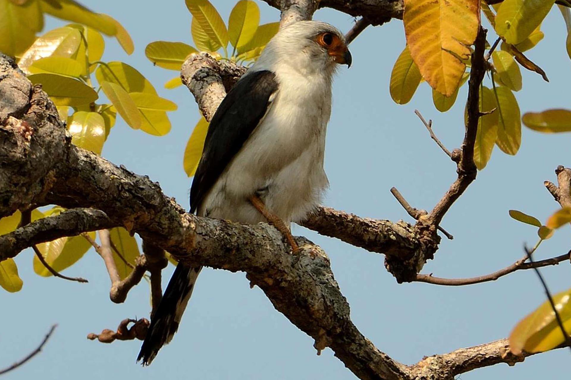 White-rumped Pygmy-Falcon
